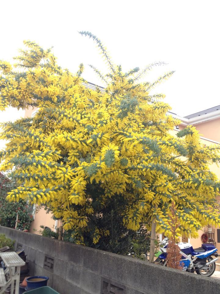 mimoza2