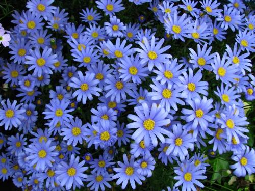 bule daisy